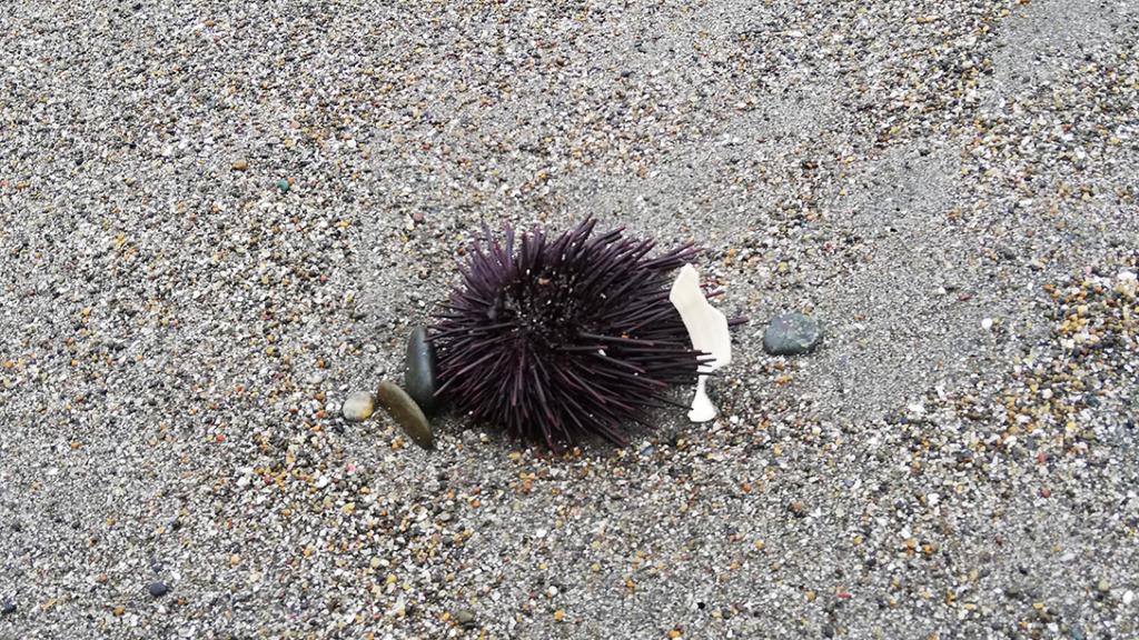 秋谷海岸でウニ見つけた
